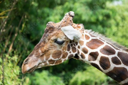 Plakat Giraffe is not in a good mood