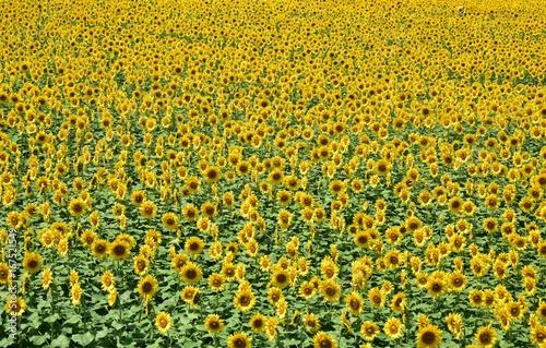 Spoed canvasdoek 2cm dik Oranje 満開の向日葵の壁紙イメージ