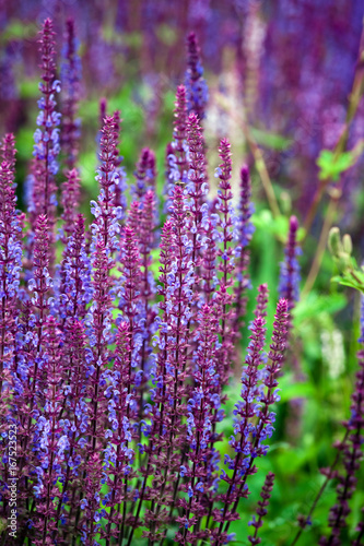 Staande foto Snoeien Salvia flower (disambiguation) the largest genus of plants in the mint family, Lamiaceae, with nearly 1000 species of shrubs, herbaceous perennials, and annuals.[