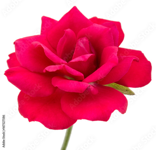 Fototapeta one red rose flower head isolated on white background cutout
