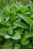 sage growing - 167555564