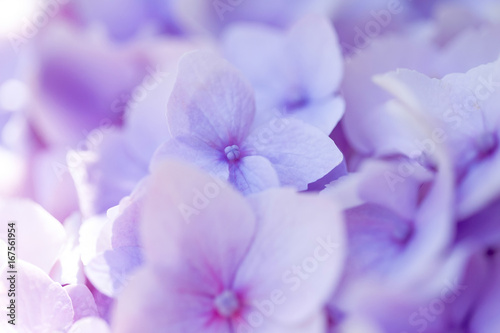 Plexiglas Hydrangea Inflorescence of violet hydrangea macrophilia close-up