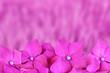Leinwanddruck Bild - Hortensien