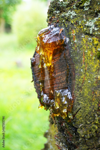 resin on the tree - 167583746