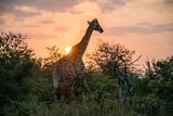Żyrafa i wschód słońca