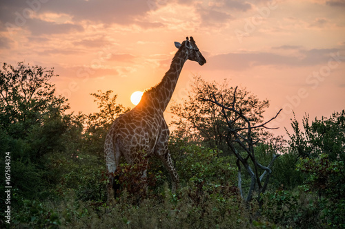 Giraffe and Sunrise Poster