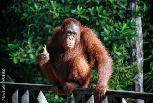 Plakat Borneo