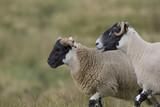 scottish blackface sheep - 167589977