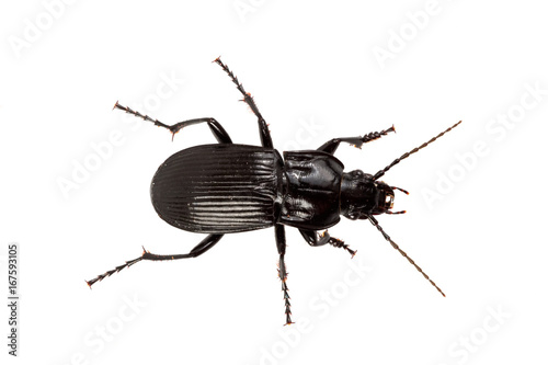 Foto Murales Beetle (Abax parallelus) on a white background