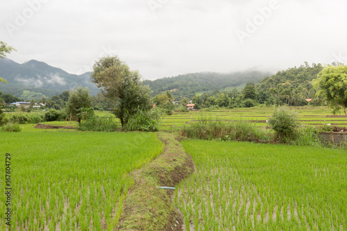 A green younger rice growing up in the rice fields