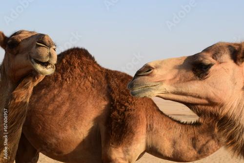 Camello y sonrisa