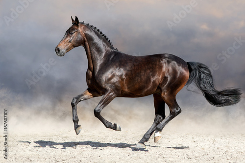 Fototapeta Bay horse run gallop in desert
