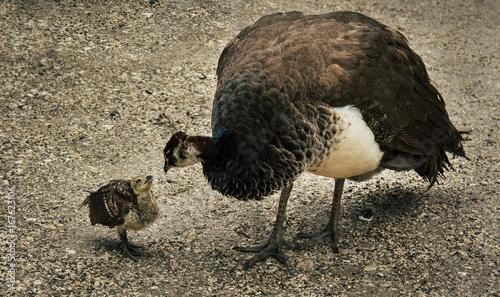 Foto op Aluminium Pauw Pfau mit Baby