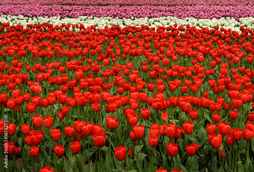 Tulip Field -2