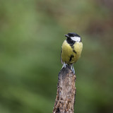 Lovely little Coat Tit bird Periparus Ater on tree in woodland landscape setting - 167648342