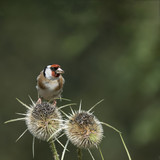 Beautiful Goldfinch bird Carduelis Carduelis on teasels in woodland landscape setting - 167648755