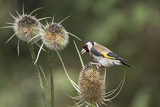 Beautiful Goldfinch bird Carduelis Carduelis on teasels in woodland landscape setting - 167648953