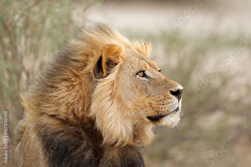 Foto op Aluminium Lion Portrait of a big male African lion (Panthera leo), Kalahari desert, South Africa.