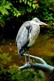 A big grey heron - 167652324