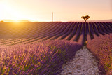 Lavender fields near Valensole, Provence, France - 167654597