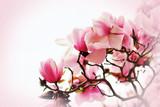 Beautiful magnolia flower - 167654966