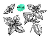 Ink sketch of mint. - 167658310