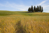 Cypress trees in Tuscany, Italy. tuscany landscape. Wheat field and cypresses