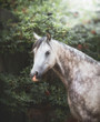 Quadro Portrait of Beautiful gray arabian horse