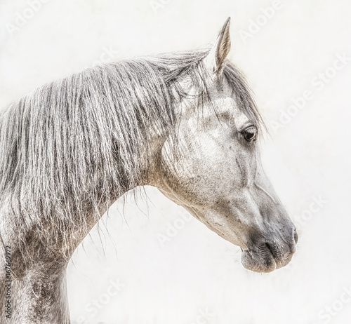 Portrait of gray arabian horse head on light background, Profile Pictures - 167669972