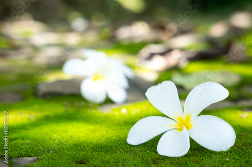 White plumeria fall from the tree on to the moss floor that sunshine , soft focus