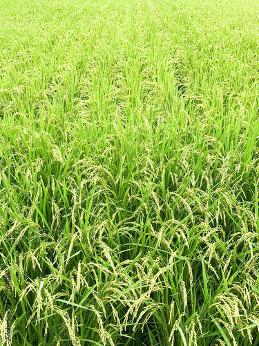 Deurstickers Lime groen 夏の水田(千葉県・印西市)