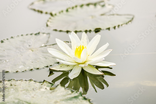 Poster Lotus flower on pond at Hanoi