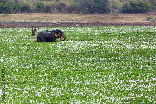 The Sri Lankan elephant (Elephas maximus maximus) big male in water full of water hyacinths