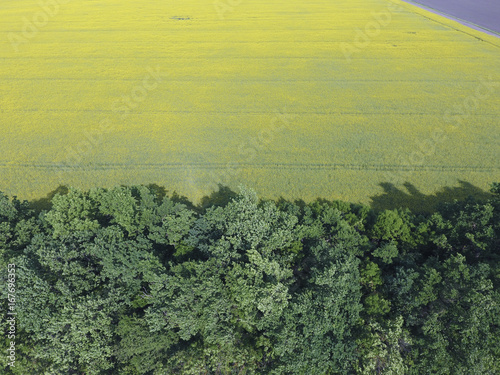 Foto op Canvas Khaki Field of flowering rape and forest belts for wind protection. Rape, a syderatic plant with yellow flowers. Field with siderates.