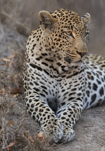 Tuinposter Panter Portrait leopard lay down in at dusk to rest and relax