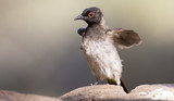 Red-eyed Bulbul sitting on a rock ready to fly