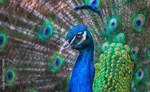 Foto op Aluminium Pauw Closeup of a Peacock