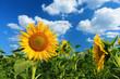 Quadro Beautiful sunflower against blue sky