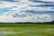 Quadro Rice field green grass blue sky cloud cloudy landscape background.