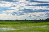 Rice field green grass blue sky cloud cloudy landscape background.