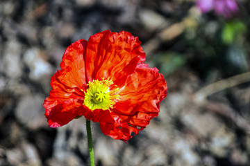 fFowering Red Iceland Poppy Flower On Blurred background