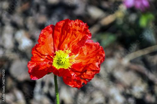 Foto op Canvas Klaprozen fFowering Red Iceland Poppy Flower On Blurred background