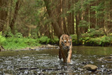Running Siberian tiger (Amur tiger - Panthera tigris altaica) in his natural environment in the river in beautiful country	 - 167747949