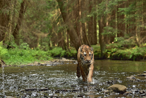 Foto op Aluminium Lion Running Siberian tiger (Amur tiger - Panthera tigris altaica) in his natural environment in the river in beautiful country
