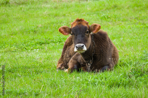Portrait of cute and sad bull-calf on a spring pasture at rainy day Poster