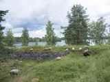 sheep in former fortification Särnäkoski in central Finland - 167758588