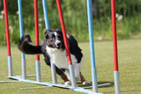 Dog Border Collie on the route of agility trials - 167761917