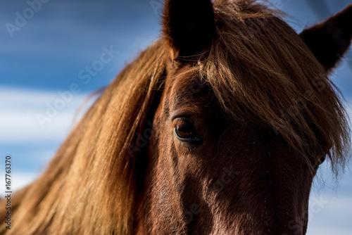 Juliste Auge eines Island-Pferde