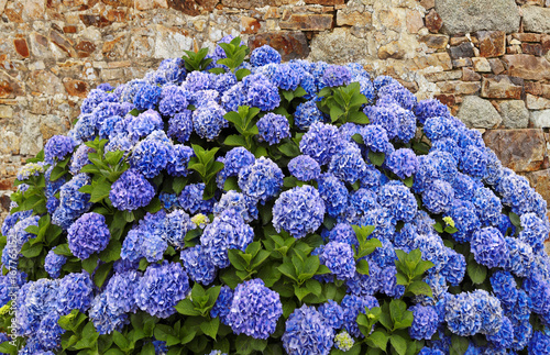 Fotobehang Hydrangea Hortensie