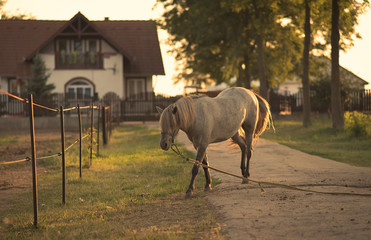 Chained horse on the farm